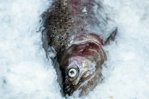 how to catch rainbow trout ice fishing